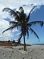 Fortaleza CE. Coqueiro resistente às inundações de areia. - panoramio.jpg