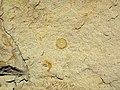 Fossiliferous sandstone (Logan Formation, Lower Mississippian; Rt. 35 roadcut, northeast of Rittenours, Ohio, USA) 3 (40230360144).jpg