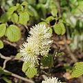 Fothergilla major-IMG 2221.jpg