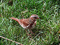 Fox Sparrow-2.jpg