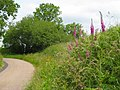 Foxgloves on the lane to Beacon - geograph.org.uk - 1363693.jpg