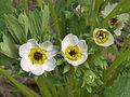 Fragaria × ananassa flower forstdamage, aardbei bloem 'Korona' vorstschade.jpg