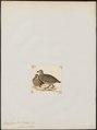 Francolinus africanus - 1820-1863 - Print - Iconographia Zoologica - Special Collections University of Amsterdam - UBA01 IZ17100035.tif