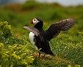 Fratercula arctica -Skomer Island-8.jpg