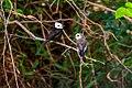 Freirinha (Arundinicola leucocephala) - White-headed Marsh Tyrant.jpg