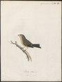 Fringilla totta - 1786-1789 - Print - Iconographia Zoologica - Special Collections University of Amsterdam - UBA01 IZ16000047.tif