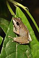 Frog (15357752913).jpg