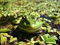 Frog - panoramio (2).jpg