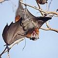Fruit Bat (flying fox) (36717999785).jpg