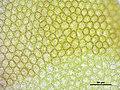 Frullania dilatata (k, 144700-474800) 3864.JPG