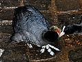 Fulica atra (Küken) - Utoquai 2011-06-27 21-12-54.JPG