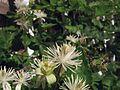 G20080822-2370--Clematis ligusticifolia (14862329877).jpg