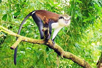 Mona monkey - Image: GREN grandetang mona affe