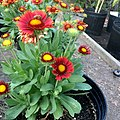 Gaillardia-arizona-red-shades-IMG 9403.jpg
