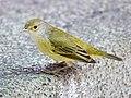 Galapagos Mangrove Warbler (47761507392).jpg
