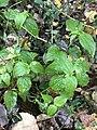 Galinsoga parviflora 55075357.jpg
