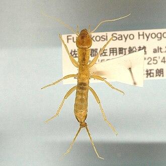 Grylloblattidae - Galloisiana nipponensis