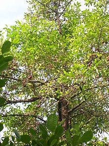 Garcinia Cambogia Fruit Trees