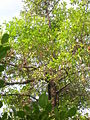 Garcinia indica tree.jpg