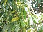 Garcinia xanthochymus (16202002065).jpg