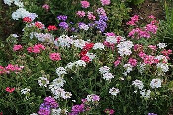 Garden in Kashmir - Budding.jpg