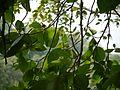 Gardenia latifolia (9878568415).jpg