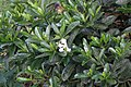 Gardenia vietnamensis 11zz.jpg