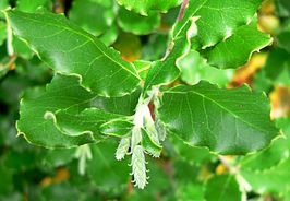 Garrya elliptica James Roof 1.jpg