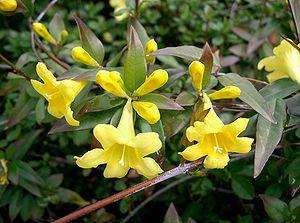 Gelsemiaceae - Gelsemium sempervirens