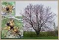 Gemeine Esche (Fraxinus excelsior).jpg