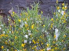 La ginestra di Salzmann, elemento essenziale dell'habitat della chiocciola corsa