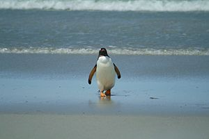 Gentoo Penguin coming in from the Ocean