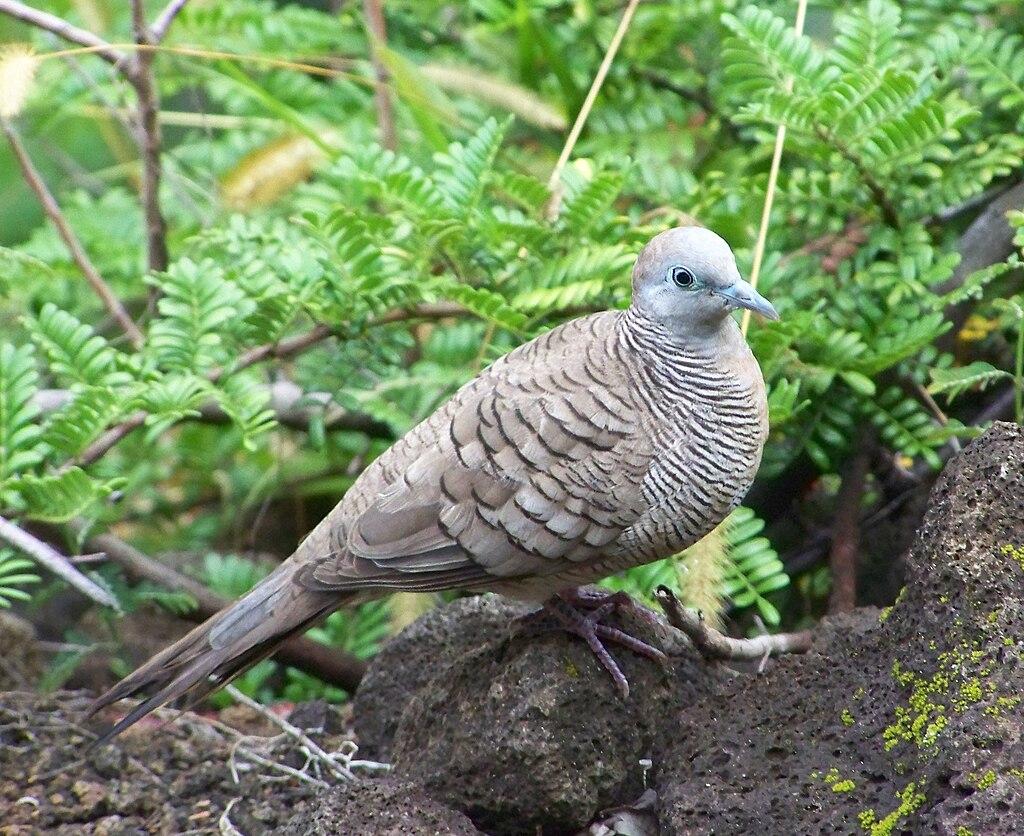 https://upload.wikimedia.org/wikipedia/commons/thumb/f/fa/Geopelia_striata_Big_Island_Hawaii.JPG/1024px-Geopelia_striata_Big_Island_Hawaii.JPG