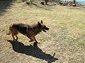 German Shepherd (aka Alsatian and Alsatian Wolf Dog), Deutscher Schäferhund 30.JPG