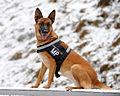 German Shepherd Dog in Lithuanian Army.jpg