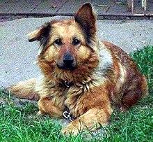 Free Images : view, puppy, pet, portrait, german shepherd, black dog, pets,  animals, vertebrate, views, dog breed, devotion, each, small dog, old german  ...