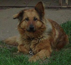 Dog crossbreed - German Shepherd–Collie mix