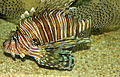 Gfp-red-lionfish.jpg