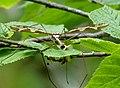 Giant Cranefly Tipula maxima (33868770463).jpg