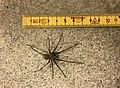 Giant house spider.jpg