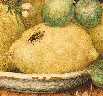 Yellowjacket - Detail of Giovanna Garzoni's Still Life with Bowl of Citrons, 17th century