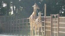 Plik:Giraffa camelopardalis reticulata-atTobuZoo-2012.ogv