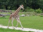 Giraffa camelopardalis rothschildi qtl2.jpg
