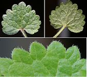 Glechoma hederacea ENBLA03