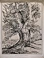 Gnarled trunk of a beech tree (Fagus sylvatica L.) by Windso Wellcome V0043123.jpg