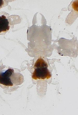 Gnathia marleyi - Male specimen