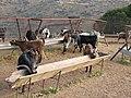 Goat enclosure between Drosopigi and Vachos - panoramio - macrolepis.jpg