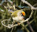 Goldcrest, male (Regulus regulus) (25207923537).jpg