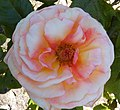 Golden Gate Park Rose Garden 3.jpg