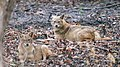 Golden jackals at dawn (49103830742).jpg